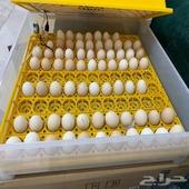 بيض - بيض براهما للفقاسات