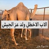 هجن بنت الاخطل ولد عز الحيش لقحه من جمل سوداني طيب