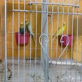 للبيع جوز طيور حب هولندي انتاج   ذكر بادجي لاتينو عيون حمر