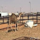 الرياض سوق البل الطوقي