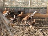 مكه . القنفذة دجاج باكستاني