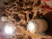 صوص دجاج بلدي صيصان 21 يوم للبيع
