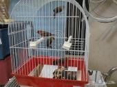 لعشاق العصافير النادرة فراولة هندية بيور