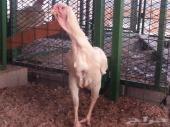 دجاج فارسي ( حجازي ) للبيع
