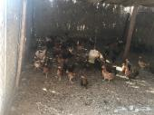 للبيع كمية دجاج بياض كامل او تفريد العدد160