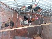 اقفاص طيور للبيع