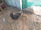 البيع دجاج تحتها فروخ