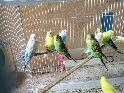 طيور الحب البيع