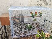 طيور فيشر منتج العدد 3 مع القفص والبياضه