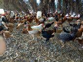 دجاج بلدي بشاير العمر 4 شهور