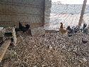 دجاج حضان (( تم البيع ))