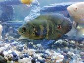 سمك زينة أوسكار
