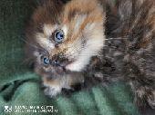 قطط للبيع سكوتش - هملايا