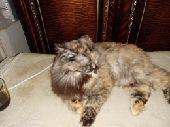 قطه شزازي