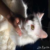 قطة تركية بيضا سلالة فان مع اولادها