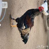 دجاج بلدي مهجن حجم كبير