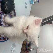 قطة صغيرة شيرازي