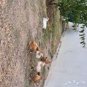 دجاج براهما هجين