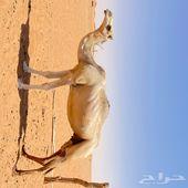 ناقه عمانيه للبيع