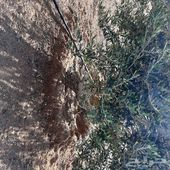 اشجار للبيع زيتون نبيالي العدد حوالي 900