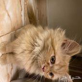قطه للبيع انثى النوع شيرازي