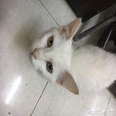 قطة بيضاء بعيون عسلية اليفة جدا