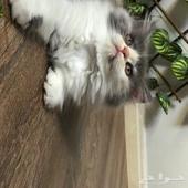 قطط_للبيع_ينبع