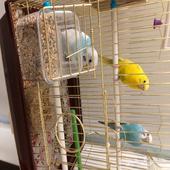 طيور بادجي