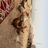 دجاج برية بلدي نظيفه شرط