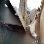 حمام زينه سبب البيع اربي قطايف