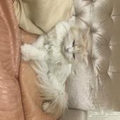 قطة شيرازي انثى للتبني - تم التبني