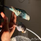 زوج طيور بادجي