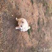 كلب مارتينز للتبني المؤقت