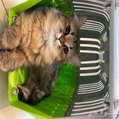 قطه للتبني شيرازي