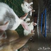 السلام عليكم للبيع ارانب العدد 15 العمر شهرين