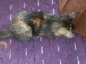 قطة شيرازى صغيره للبيع