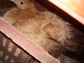 دجاجه تحضن على اي بيض