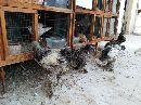 دجاج براهما