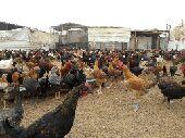 للبيع دجاج العمر 3 شهور تقريبا  المكان بريدة