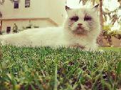 قطة(أنثى) نوع القطة هملايا