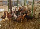 دجاج بلدي 80
