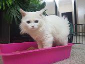 تبوك - قطه شيرازيه