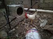 دجاج محايل