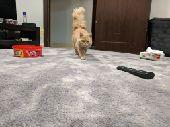قط شيرازي للبيع بالرياض