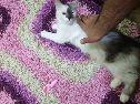 قطة شيرازي للبيع او للتبني