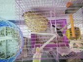 تم البيع   طيور زيبرا زوج جميل