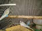 ثلاثه فروخ طيور الحب ألوانها واضحه في الصور