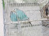 طيور الحب للبيع فروخ و كبار
