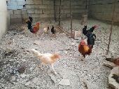 دجاج للبيع محايل