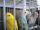 طيور الحب 3ازواج